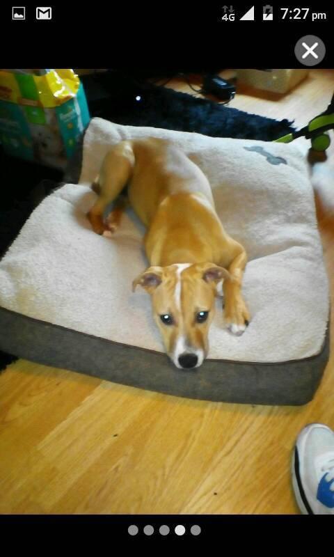 Staffy cross American bulldog puppy