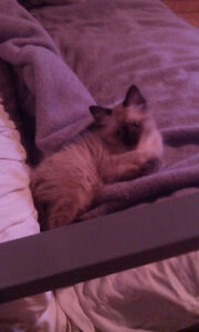 Rag doll kitten 200$