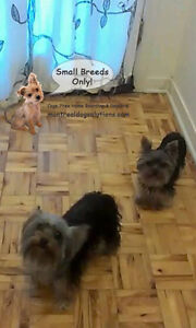 DAYCARE/SLEEPOVERS(SMALL DOGS)IN CAGE-FREE HOME SINCE 2010 West Island Greater Montréal image 3
