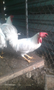 5 leghorn roosters  $10 for all