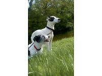 Lurcher cross pup 27 week for sale