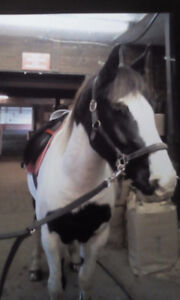 Black and white paint gelding