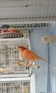 Canaries selected Breeding pairs of male/female