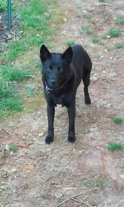 Lezza is a 2 year old, female, schipperke