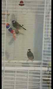 Java Finch couple for sale!