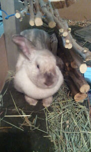 Rabbit In need of rehomeing, pick up needed