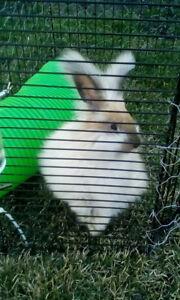 English angora bunnie