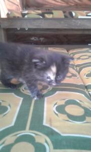 Turtoise shell calico cross kitten for sale!