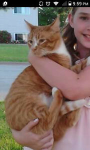 Lost Ginger Cat - Marvin