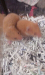 2 free hamster baby