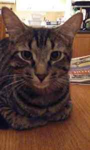 CHAT PERDU AYLMER/CAT LOST AYLMER Gatineau Ottawa / Gatineau Area image 1