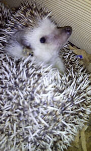 Hedgehog one female left from Baby's