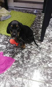 Male Black and Tan Coonhound Puppy