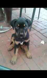 STOLEN PUPPY Lynwood Canning Area Preview