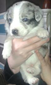 3 blue merle boy pups (border collies)