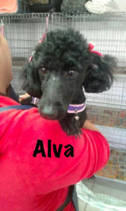 Beautiful terrier/poodle mix - she is ready for adoption