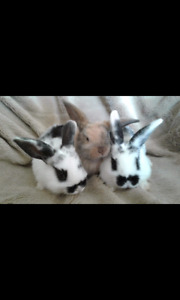 Purebred Holland Lops ~ ONLY ONE LEFT!!