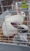 Rabbits For Sale...