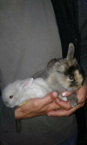 2 Baby Lionshead Bunnies (one is rare calico born with fur)
