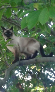 Sealpoint Siamese(looks like-not purebred)  Missing 519-560-3896