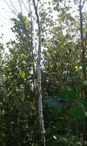 Decorative White Birch Trees