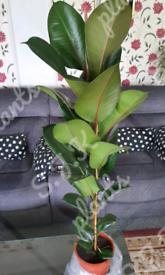 Large ficus elastica houseplant plant