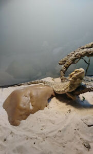 Rehoming for my bearded dragon!
