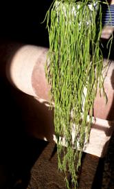 Hoya Linearis, String of Needles Fresh Cuttings