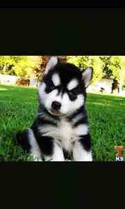 Looking for a Black and White Male Husky Puppy with Blue Eyes London Ontario image 4
