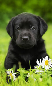 Looking for Purebred black lab puppy or lab/Dane cross