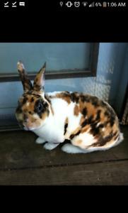 LF : some mini rex bunnies/ rabbits