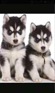 Looking for a Black and White Male Husky Puppy with Blue Eyes London Ontario image 6