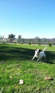 daz jack russell Picton Wollondilly Area Preview