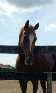 Flashy 4 year old OTTB with great mind and attitude Kitchener / Waterloo Kitchener Area image 1