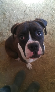 9 months old boxer pups ***PPU