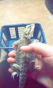 4 month old bearded dragon.