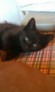 Male Black Kitten Free
