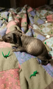 Young skinny pig