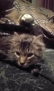 Gray Tabby Male to a good home