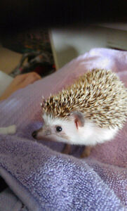Male Hedgehog For Sale to a Good Home