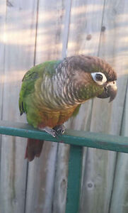 Green cheek conure with cage