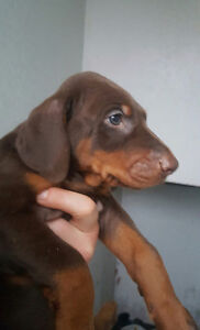 Doberman Pick of Litter! Large red male.