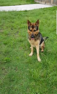 2,5 year old German Shepherd