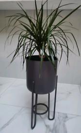 Indoor Dracaena plant