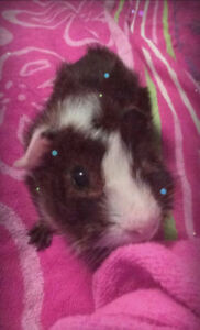 2 Adult Male Guinea Pigs with Cage and Everything they need!