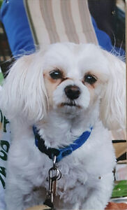 Looking for a Female Bichon or Maltese