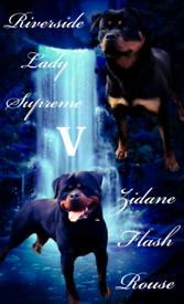 Show Quality Rottweiler Pups