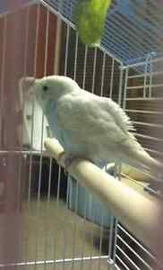 Budgie for free to a good home
