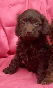 Cockapoo puppies - different colours - last 3