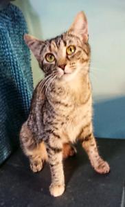 9 month female tabby kitten (rescue)